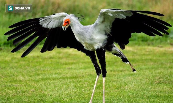 Màn mổ rắn của loài chim mệnh danh là sát thủ Taekwondo - Ảnh 1.