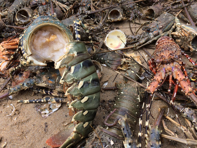 [ẢNH] Xót cảnh tôm hùm chết hàng loạt, người dân bỗng chốc trắng tay ở Phú Yên - Ảnh 1.
