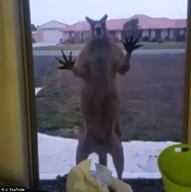 Clip: Kangaroo tìm cách phá vỡ cửa sổ để vào trong khiến chủ nhà hoảng sợ - Ảnh 2.