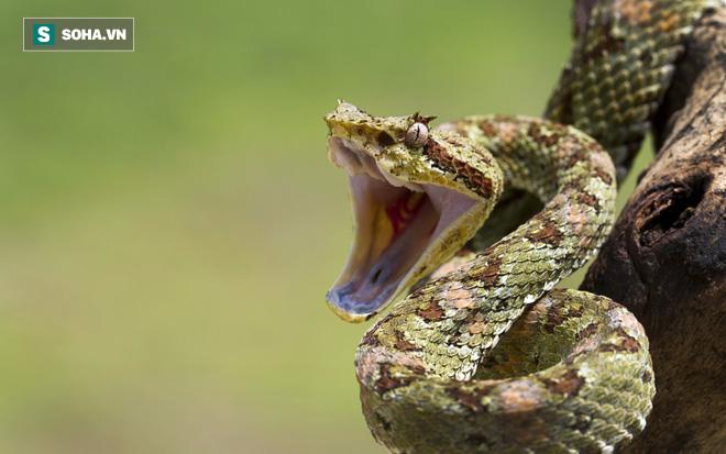 Ăn đuôi để tự sát: Bí ẩn lớn nhất của loài rắn đã có lời giải - Ảnh 1.