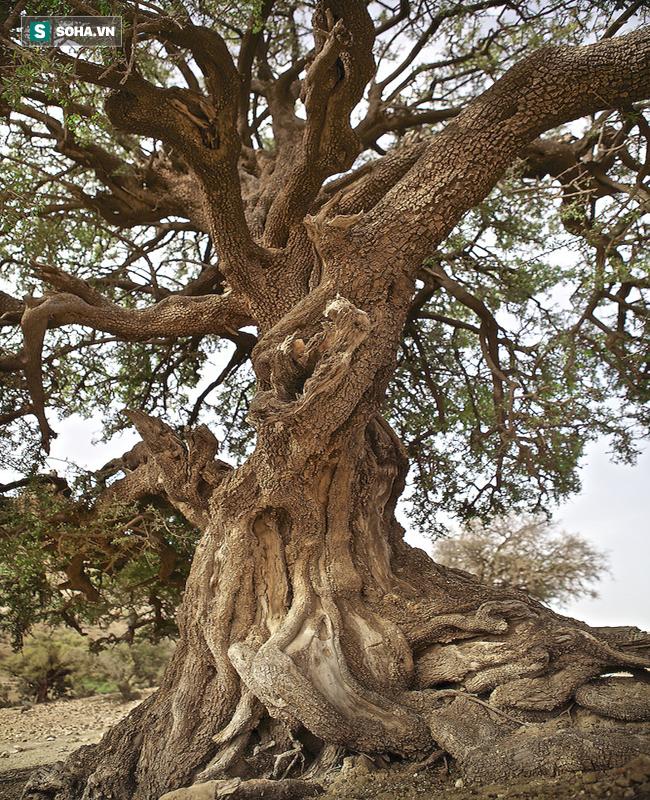 Những cây gỗ tươi quý hiếm bậc nhất thế giới, có giá trên trời mà đại gia săn lùng - Ảnh 20.
