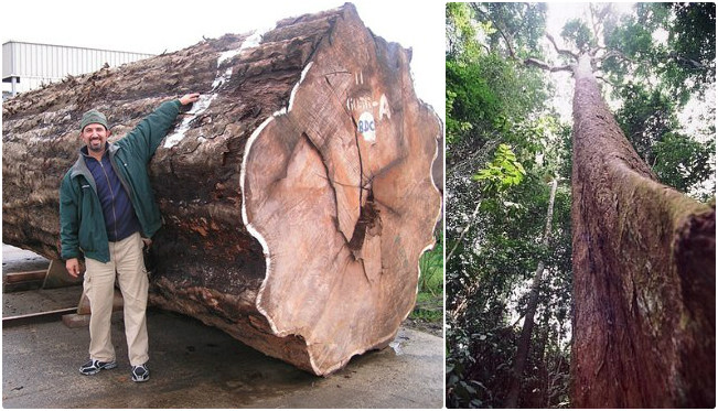 Những cây gỗ tươi quý hiếm bậc nhất thế giới, có giá trên trời mà đại gia săn lùng - Ảnh 5.