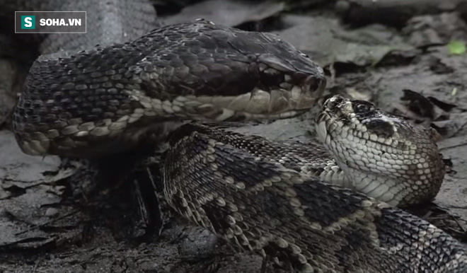Giỡn mặt tử thần, rắn đuôi chuông bị kẻ thù làm thịt không thương tiếc  - Ảnh 6.