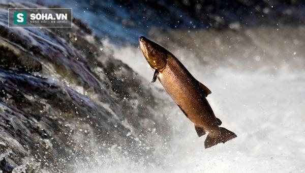Phát minh mới: Vận chuyển cá hồi qua đập nước bằng... súng thần công - Ảnh 1.