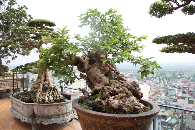 5 siêu cây cảnh hiếm có nhất hành tinh: Cây ở Nhật sống sót qua cả thảm họa bom hạt nhân - Ảnh 1.