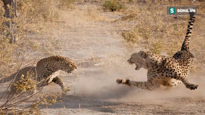 Chạy nhanh nhất thế giới, báo săn vẫn bỏ mạng vì báo đốm điên cuồng tấn công - Ảnh 1.
