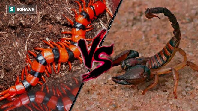 Rết độc đi ngang chỗ bọ cạp phục kích, loài nào sẽ sống sót cuối cùng? - Ảnh 6.