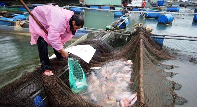 Người dân hối hả thu hoạch cá lồng phục vụ thị trường Tết  - Ảnh 2.