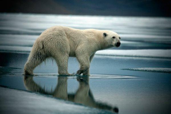Lạnh lùng như ninja, gấu trắng Bắc Cực nhanh chóng hạ sát hải cẩu - Ảnh 2.