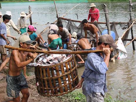 Thương lái Trung Quốc xúi dân bỏ rau câu vào tôm - Ảnh 1.