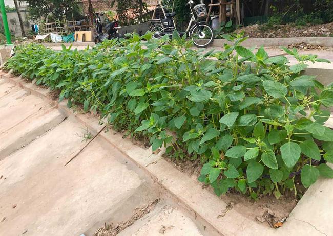 Khoét lỗ bê tông trồng rau: Hà thành sánh cùng Hà Giang - Ảnh 2.
