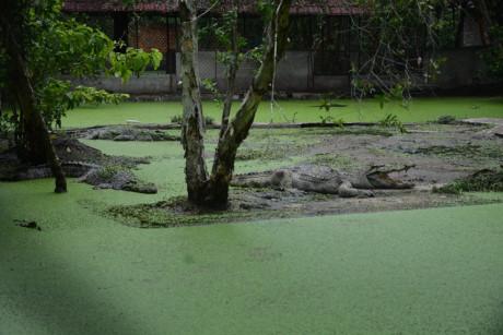 Ảnh: Hàng trăm ngàn con cá sấu nằm đói lả ở Bình Dương, Đồng Nai - Ảnh 1.