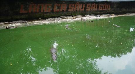 Ảnh: Hàng trăm ngàn con cá sấu nằm đói lả ở Bình Dương, Đồng Nai - Ảnh 2.
