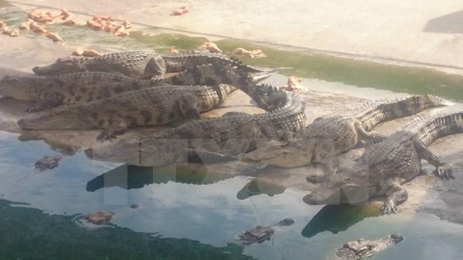 Ảnh: Hàng trăm ngàn con cá sấu nằm đói lả ở Bình Dương, Đồng Nai - Ảnh 5.
