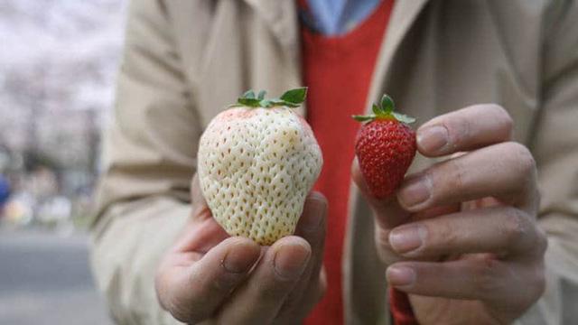 Có gì bên trong dâu tây trắng khổng lồ 200.000 đồng/quả độc nhất vô nhị tại Nhật Bản? - Ảnh 2.