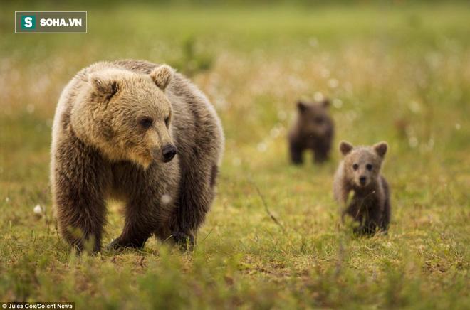 Gấu khổng lồ đại chiến kinh hoàng, vật nhau như võ sĩ judo! - Ảnh 2.