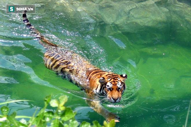 Đói ăn, hổ dữ liều mạng lội nước, cướp mồi ngon của cá sấu - Ảnh 1.