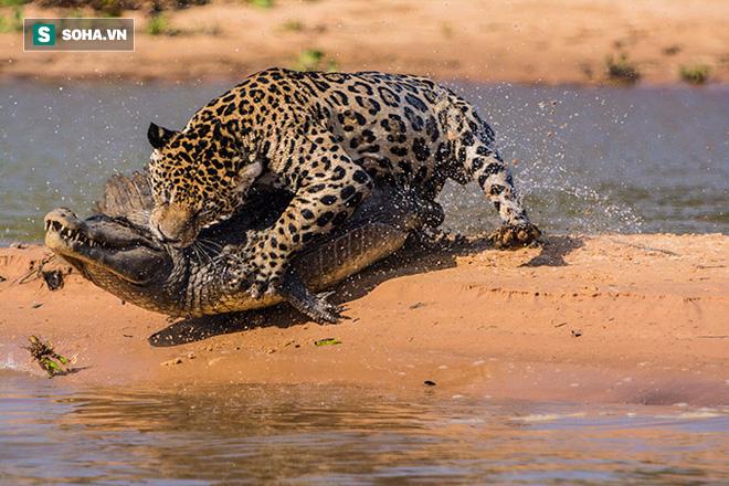 Ẩn thân như ninja, báo đốm quyết hạ cá sấu ngay trên địa bàn địch - Ảnh 1.
