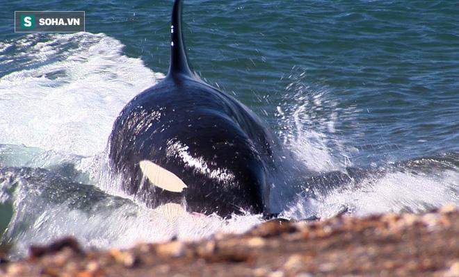 Đói ăn, cá voi sát thủ mạo hiểm phi thân lên bờ tìm mồi! - Ảnh 1.