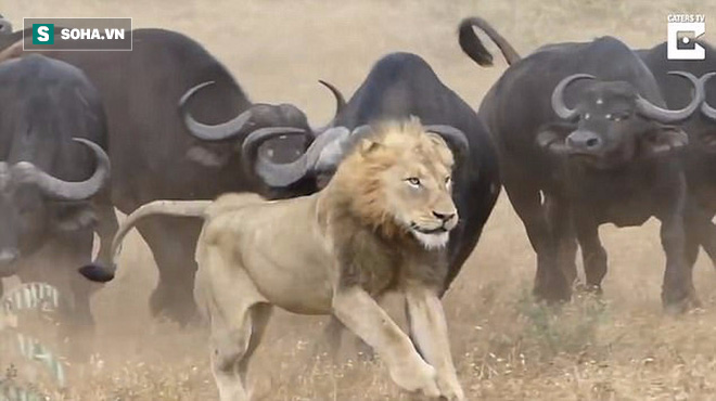 Cố chấp đi săn, sư tử bị cả đàn trâu rừng đánh hội đồng - Ảnh 3.
