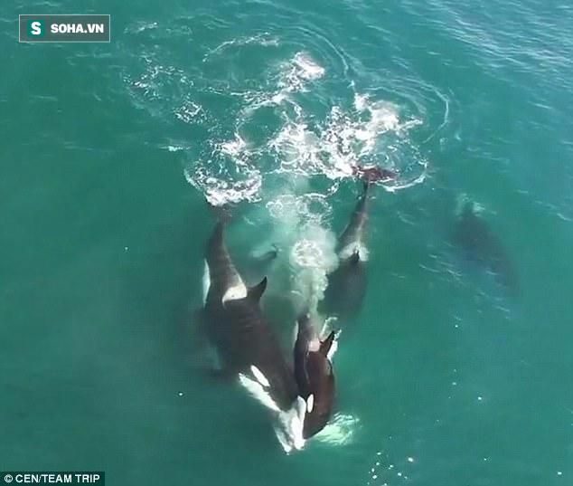 Cá voi sát thủ giăng bẫy, tấn công dữ dội cá voi Minke khổng lồ - Ảnh 1.