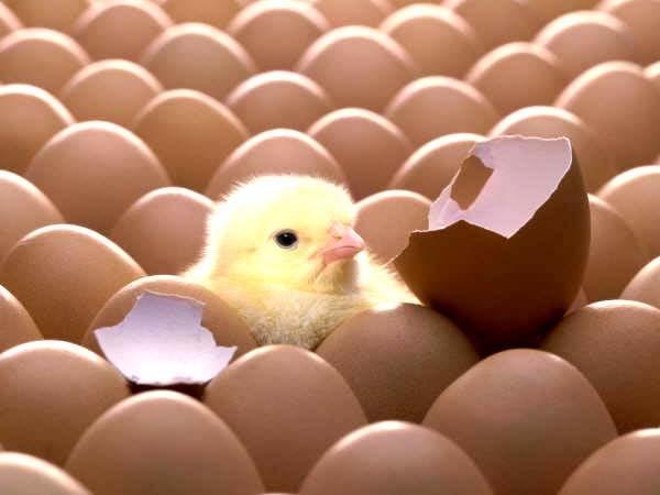 Vì sao gà đẻ gần như mỗi ngày mà mọi quả trứng đều nở ra cùng lúc? - Ảnh 1.