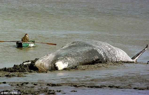 Lộ diện hung thủ bí ẩn khiến hàng loạt cá voi khổng lồ mắc cạn - Ảnh 3.