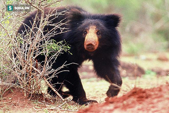 Ám ảnh gấu lợn vùng Mysore: Dù còn sống hay đã chết, nạn nhân đều bị cắn xé nát mặt - Ảnh 2.