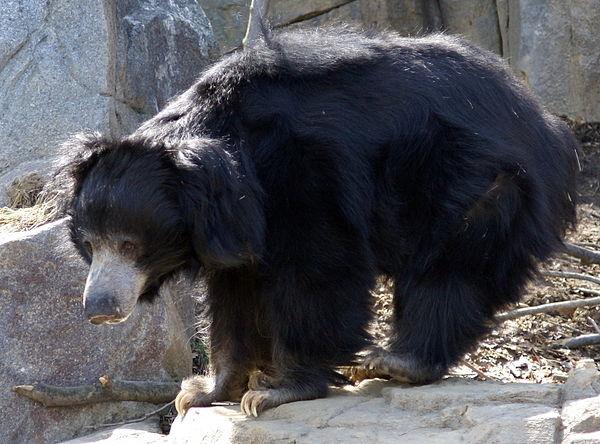 Ám ảnh gấu lợn vùng Mysore: Dù còn sống hay đã chết, nạn nhân đều bị cắn xé nát mặt - Ảnh 4.
