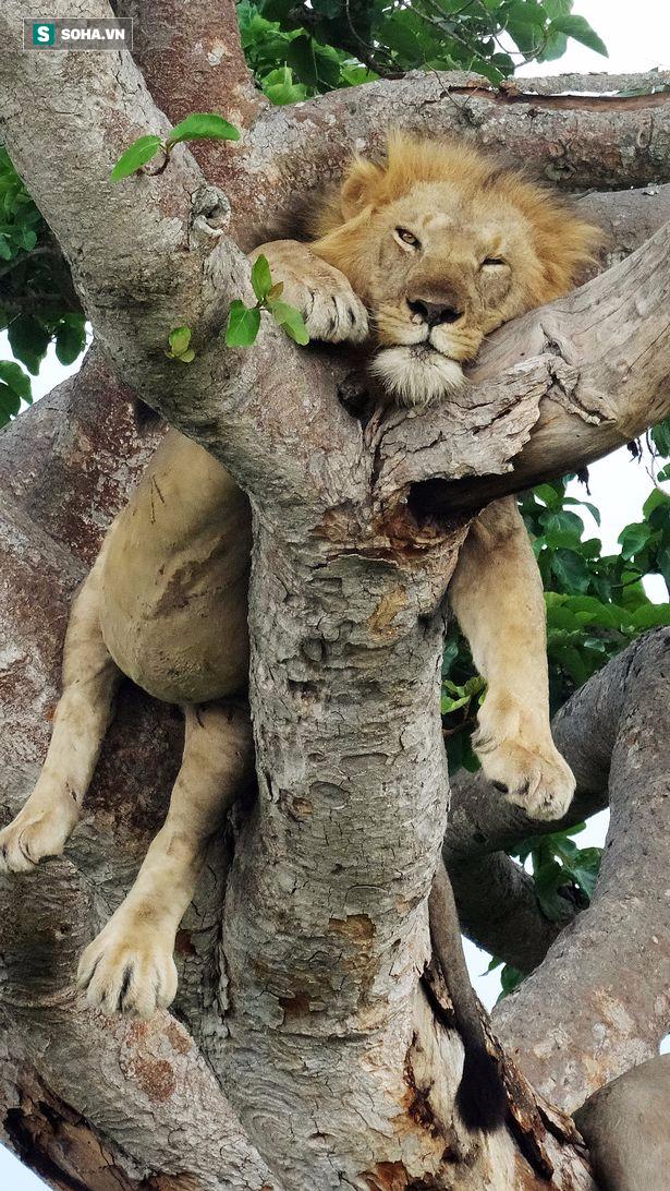 Hai anh em sư tử ngụy trang, nằm vắt vẻo trên cây cả ngày vì lý do không ai ngờ tới - Ảnh 1.