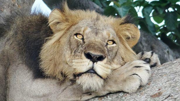 Hai anh em sư tử ngụy trang, nằm vắt vẻo trên cây cả ngày vì lý do không ai ngờ tới - Ảnh 3.