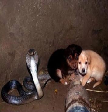 2 chú chó rơi xuống hố sâu tưởng chết, ân nhân cứu mạng không ai ngờ là con rắn hổ mang cực độc - Ảnh 1.