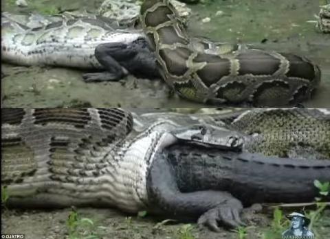 Cá sấu Mỹ bị trăn Miến Điện nuốt chửng - Ảnh 1.
