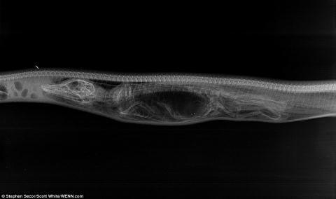 Cá sấu Mỹ bị trăn Miến Điện nuốt chửng - Ảnh 3.