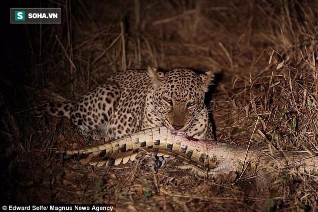Báo hoa xé xác, xả thịt cá sấu dài 2m trong nháy mắt - Ảnh 1.