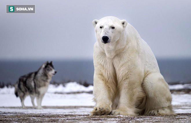 Gấu trắng đại chiến và lý do ít ai ngờ tới phía sau - Ảnh 1.