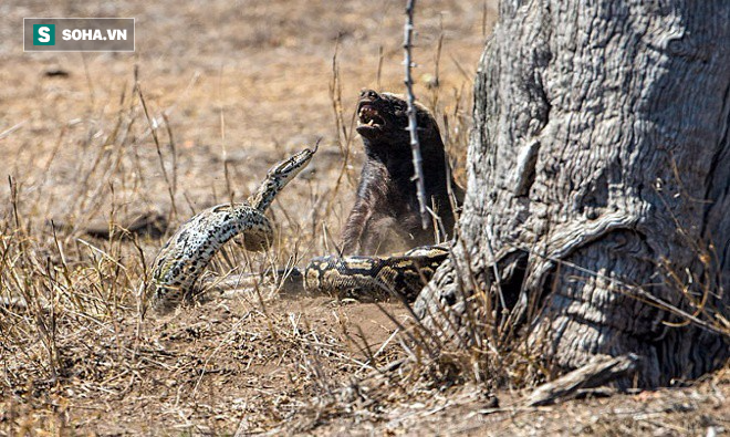 Nửa đêm đói bụng, báo hoa mai làm thịt cả khắc tinh đáng sợ nhất của các loài rắn độc - Ảnh 1.