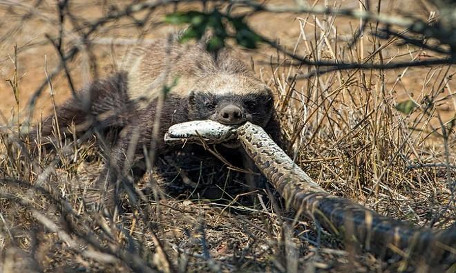Nửa đêm đói bụng, báo hoa mai làm thịt cả khắc tinh đáng sợ nhất của các loài rắn độc - Ảnh 2.