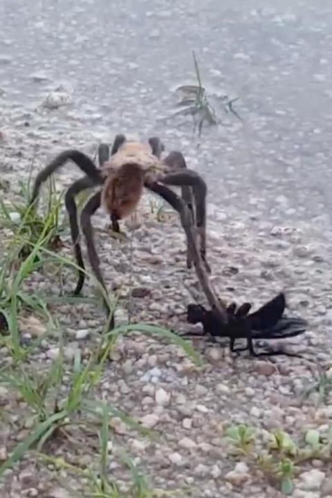 Ong hạ gục nhện khổng lồ với 1 phát chích - Ảnh 2.