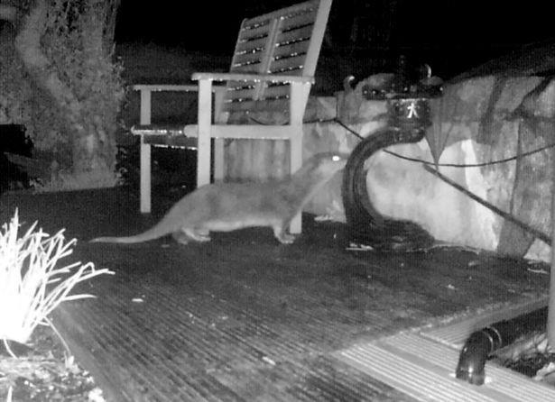 Thấy đàn cá chép Koi bị ăn thịt, người đàn ông kinh ngạc khi phát hiện kẻ tấn công trên camera an ninh - Ảnh 2.