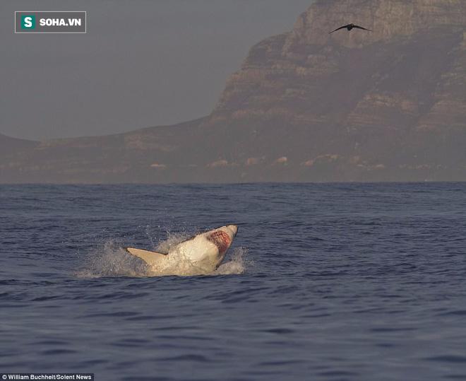 Bị dồn vào đường cùng, hải cẩu cắn xé ngấu nghiến cá mập để giành lại sự sống - Ảnh 7.