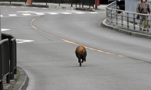 Đang trên đường về nhà sau giờ tan học, nữ sinh Nhật Bản bị lợn rừng từ đâu chạy tới tấn công - Ảnh 1.