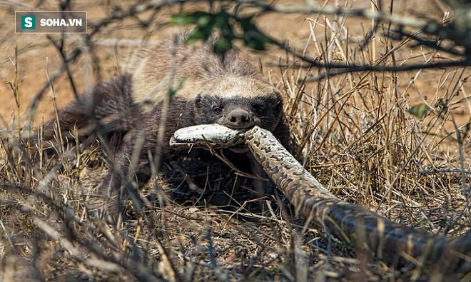 Chạy trốn khắp nơi, rắn độc vẫn bỏ mạng vào tay gã Chí Phèo của giới động vật - Ảnh 2.