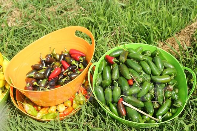 Bài 4: Trang trại cộng đồng giúp người Mỹ giải bài toán thực phẩm sạch - Ảnh 17.