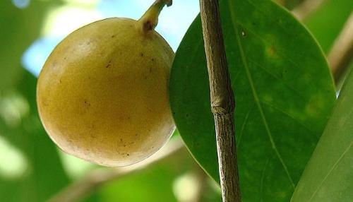 Loài cây có quả chín mọng, ngọt ngào nhưng nguy hiểm bậc nhất hành tinh - Ảnh 2.