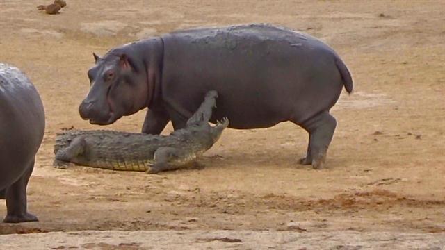 Không có bạn chơi, hà mã con trêu ngươi cá sấu như mèo vờn chuột - Ảnh 2.