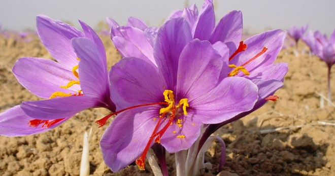 Chuyên gia y tế chỉ ra loại hoa cực tốt cho sức khỏe lại có tác dụng làm đẹp da nhưng rất dễ bị làm giả vào dịp Tết này - Ảnh 2.