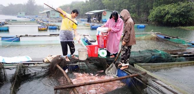 Người dân hối hả thu hoạch cá lồng phục vụ thị trường Tết  - Ảnh 4.