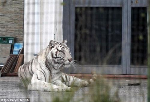 Dân hoảng loạn vì hổ trắng xổng chuồng, đi lang thang trên phố - Ảnh 3.