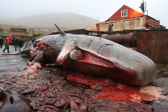 Đây là cách các nhà khoa học bảo quản quả tim cá voi nặng 200 kilogram - Ảnh 3.